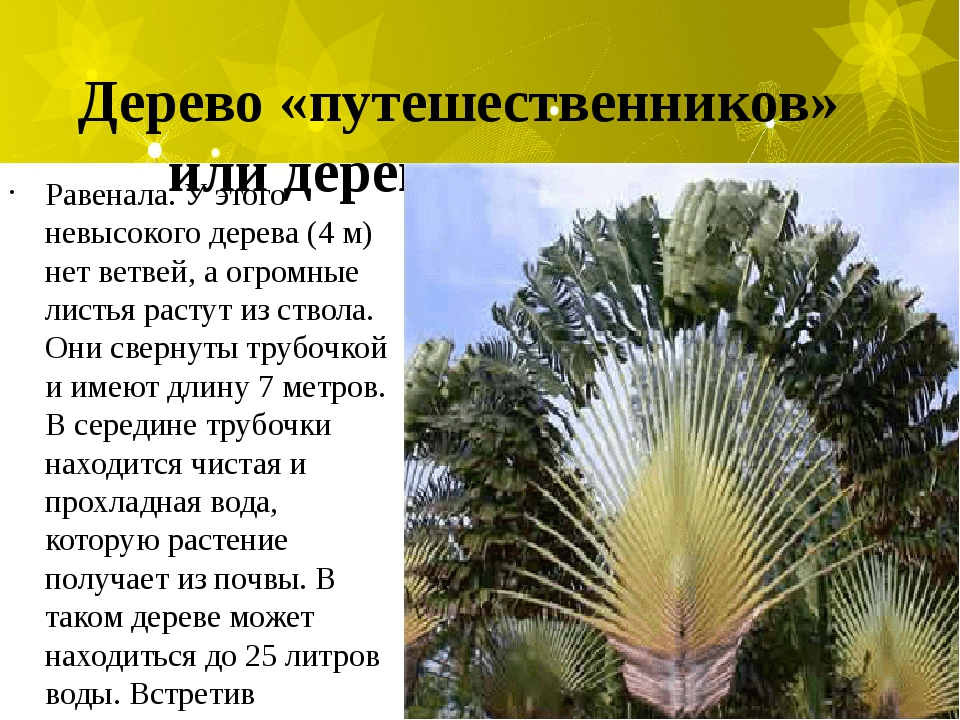 Дерево «путешественников» или дерево-«колодец». Равенала. У этого невысокого...