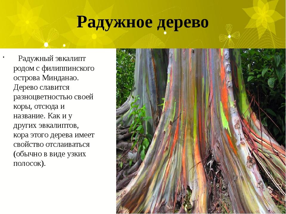 Радужное дерево Радужный эвкалипт родом с филиппинского острова Минданао. Дер...