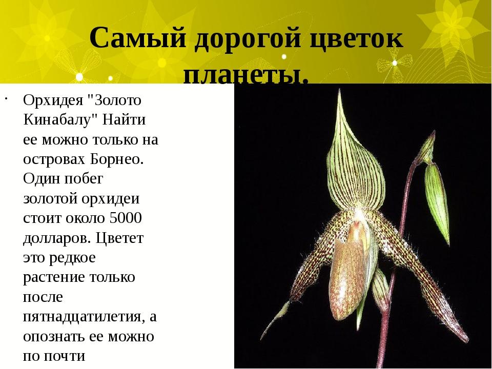 """Самый дорогой цветок планеты. Орхидея """"Золото Кинабалу"""" Найти ее можно только..."""