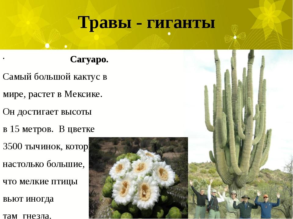 Травы - гиганты Сагуаро. Самый большой кактус в мире, растет в Мексике. Он до...