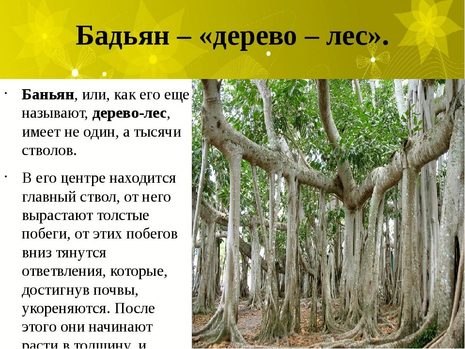 Бадьян – «дерево – лес». Баньян, или, как его еще называют,дерево-лес, имеет...