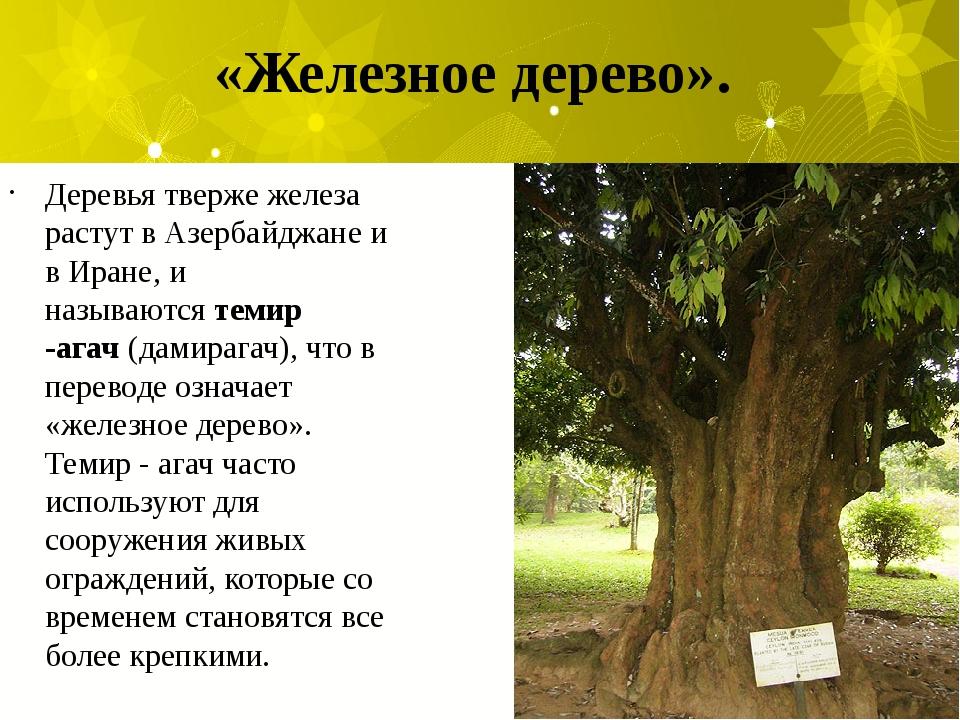 «Железное дерево». Деревья тверже железа растут в Азербайджане и в Иране, и...