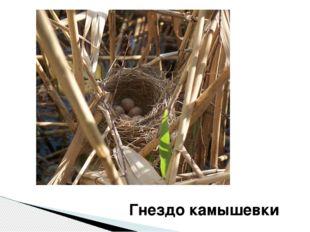 Гнездо камышевки