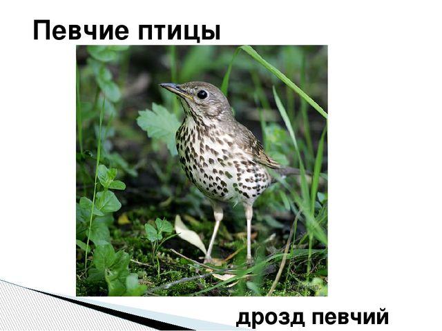 Певчие птицы дрозд певчий