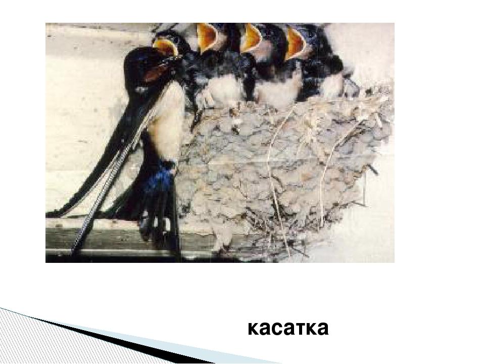 касатка