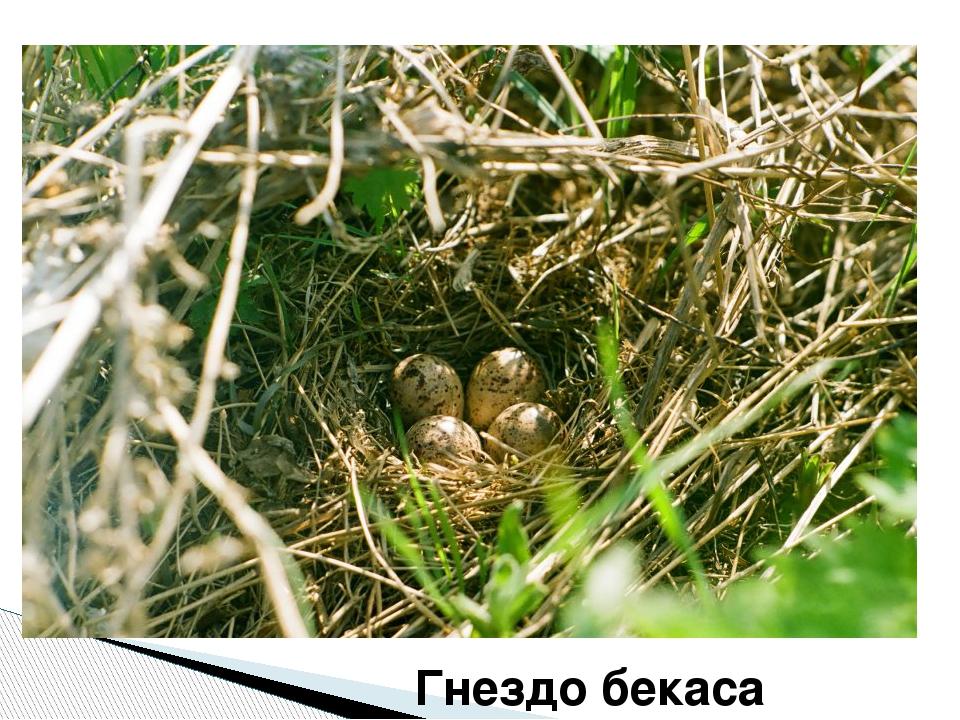 Гнездо бекаса