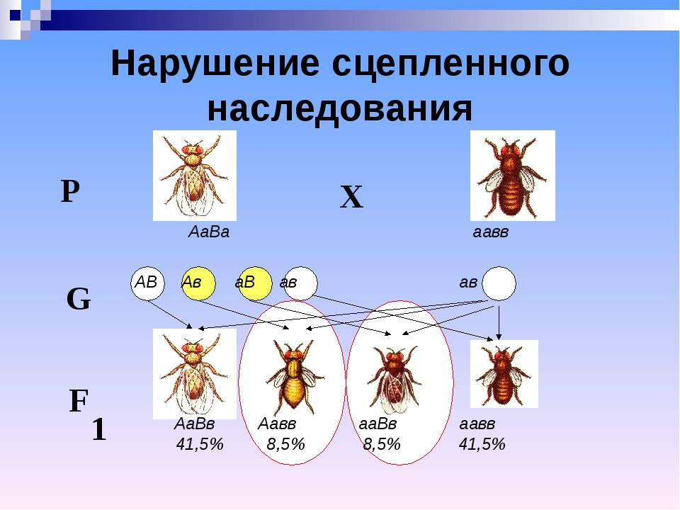 Р Х F 1 G АаВа аавв АВ Ав аВ ав ав АаВв Аавв ааВв аавв 41,5% 8,5% 8,5% 41,5%...