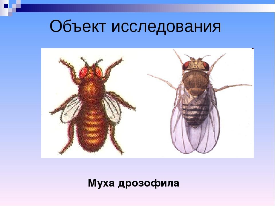 Объект исследования Муха дрозофила ♀ ♂