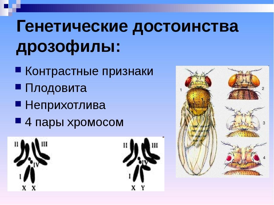 Генетические достоинства дрозофилы: Контрастные признаки Плодовита Неприхотли...