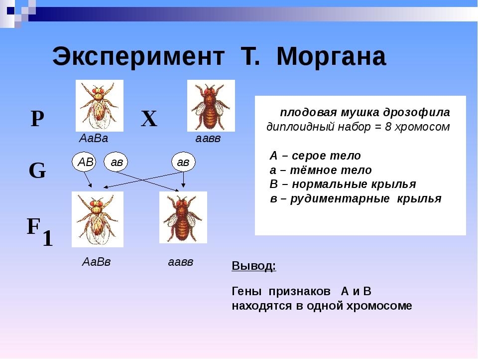Эксперимент Т. Моргана плодовая мушка дрозофила диплоидный набор = 8 хромосо...