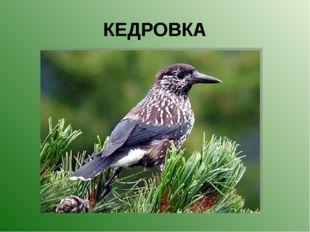 КЕДРОВКА