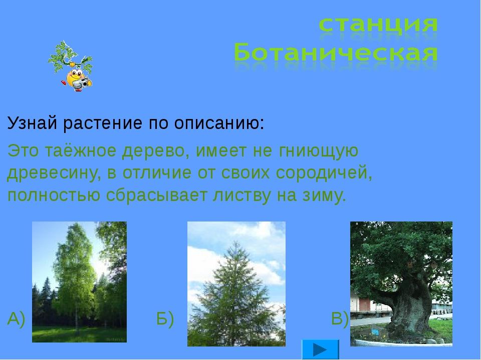 Узнай растение по описанию: Это таёжное дерево, имеет не гниющую древесину, в...