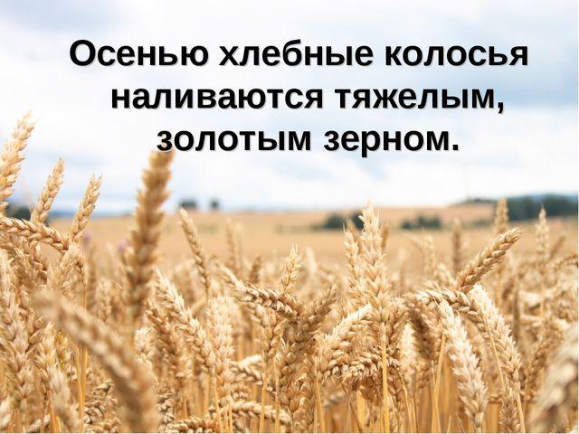 Осенью хлебные колосья наливаются тяжелым, золотым зерном.