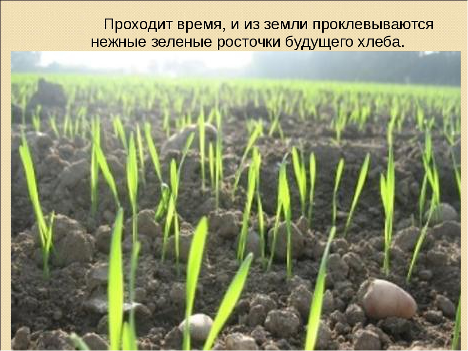 Проходит время, и из земли проклевываются нежные зеленые росточки будущего х...