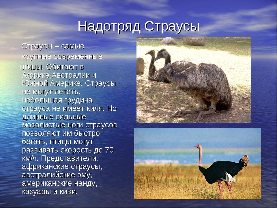 Надотряд Страусы Страусы – самые крупные современные птицы. Обитают в Африке,...