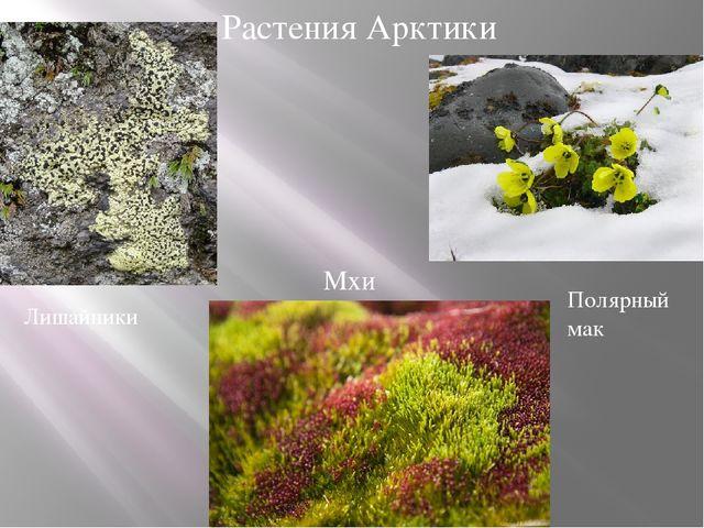 Растения Арктики Лишайники Мхи Полярный мак