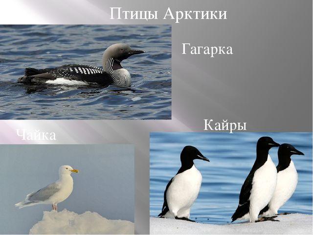Птицы Арктики Чайка Гагарка Кайры