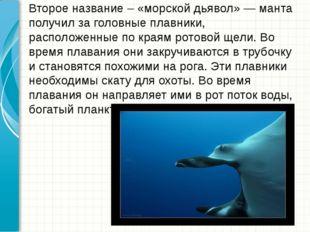 Второе название – «морской дьявол» — манта получил за головные плавники, рас