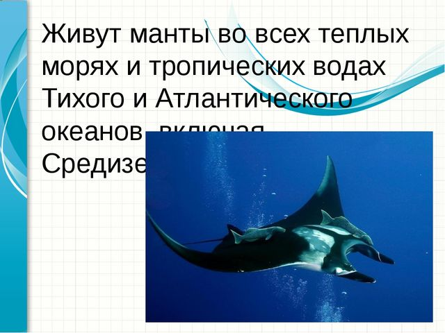 Живут манты во всех теплых морях и тропических водах Тихого и Атлантического...