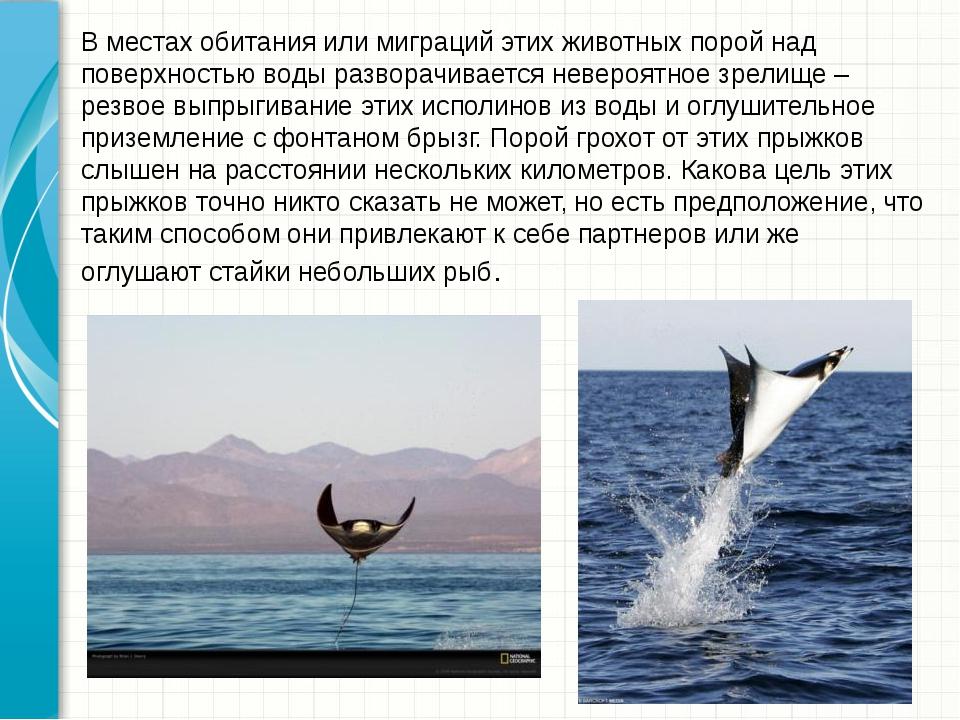 В местах обитания или миграций этих животных порой над поверхностью воды разв...