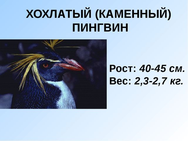 ХОХЛАТЫЙ (КАМЕННЫЙ)  ПИНГВИН