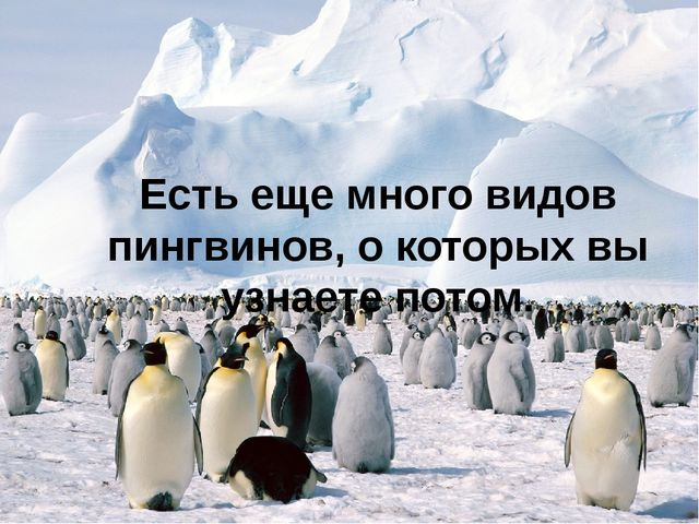 Есть еще много видов пингвинов, о которых вы узнаете потом.
