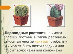 Шаровидные растения не имеют плоских листьев. К таким растениям относятся мно