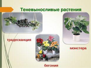 Теневыносливые растения традесканция монстера бегония