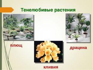 Тенелюбивые растения плющ драцена кливия