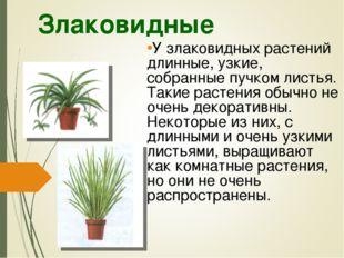 Злаковидные У злаковидных растений длинные, узкие, собранные пучком листья. Т