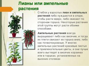 Лианы или ампельные растения Стебли у взрослых лиан и ампельных растений либо