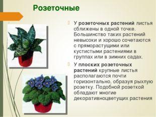Розеточные У розеточных растений листья сближены в одной точке. Большинство т