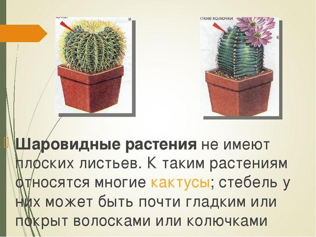 Шаровидные растения не имеют плоских листьев. К таким растениям относятся мно...