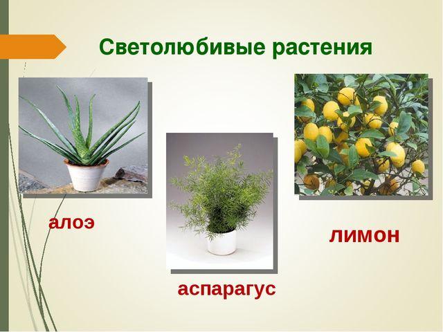 Светолюбивые растения алоэ аспарагус лимон
