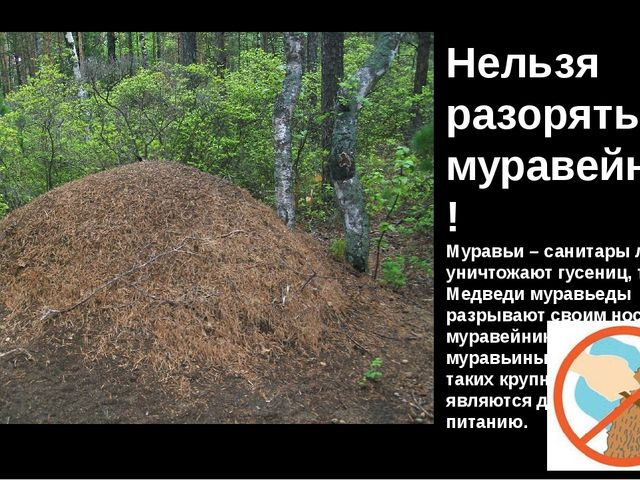 Нельзя разорять муравейники! Муравьи – санитары леса. Они уничтожают гусениц,...