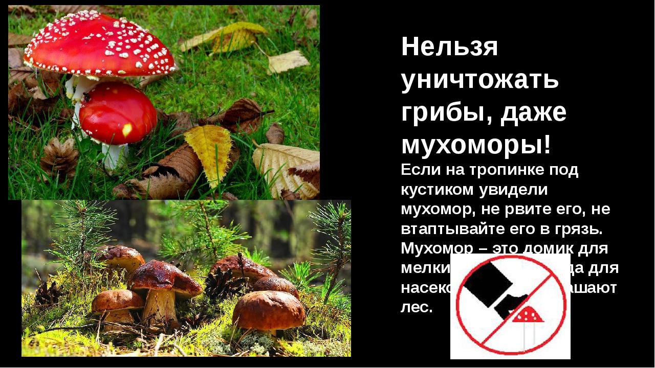 Нельзя уничтожать грибы, даже мухоморы! Если на тропинке под кустиком увидели...