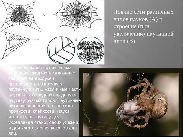 Ловчие сети различных видов пауков (А) и строение (при увеличении) паутинной...