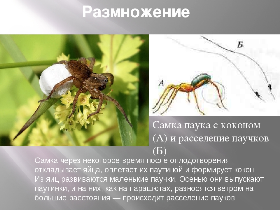 Размножение Самка паука с коконом (А) и расселение паучков (Б) Самка через не...