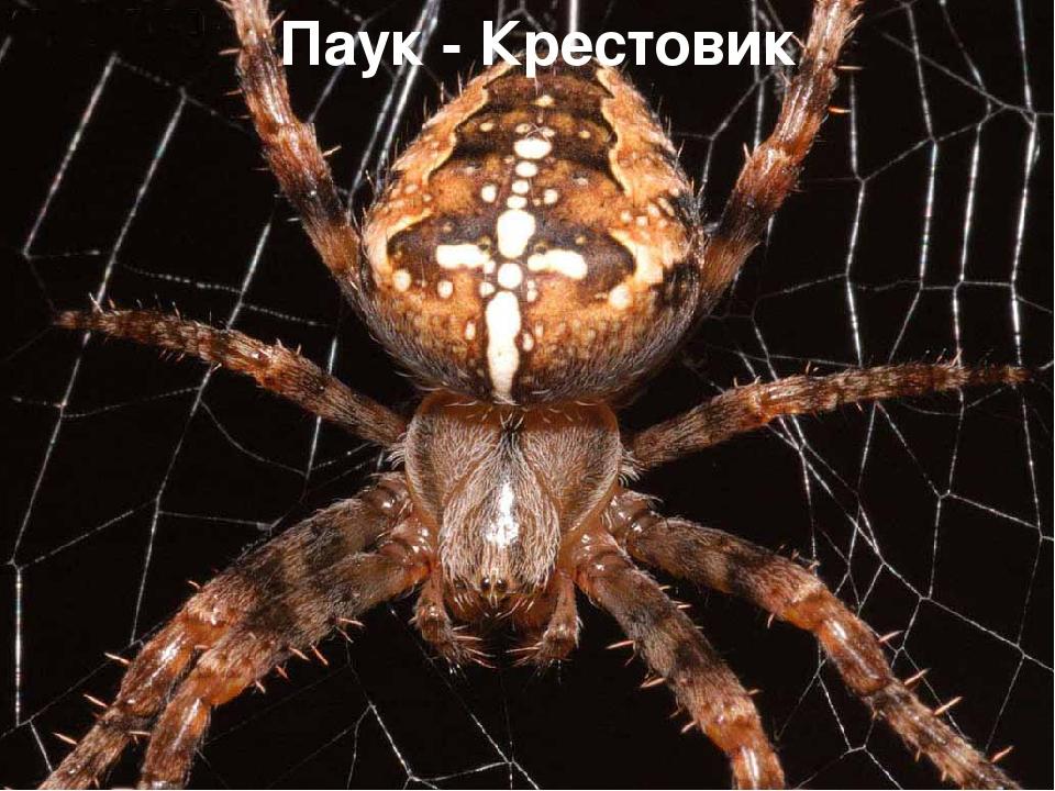 Паук - Крестовик