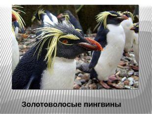Золотоволосые пингвины