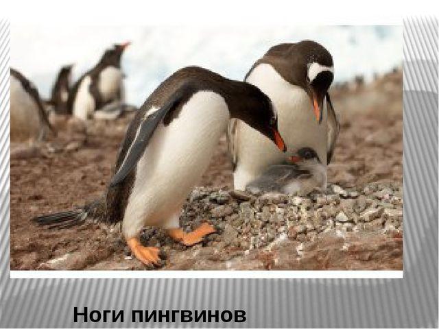 Ноги пингвинов