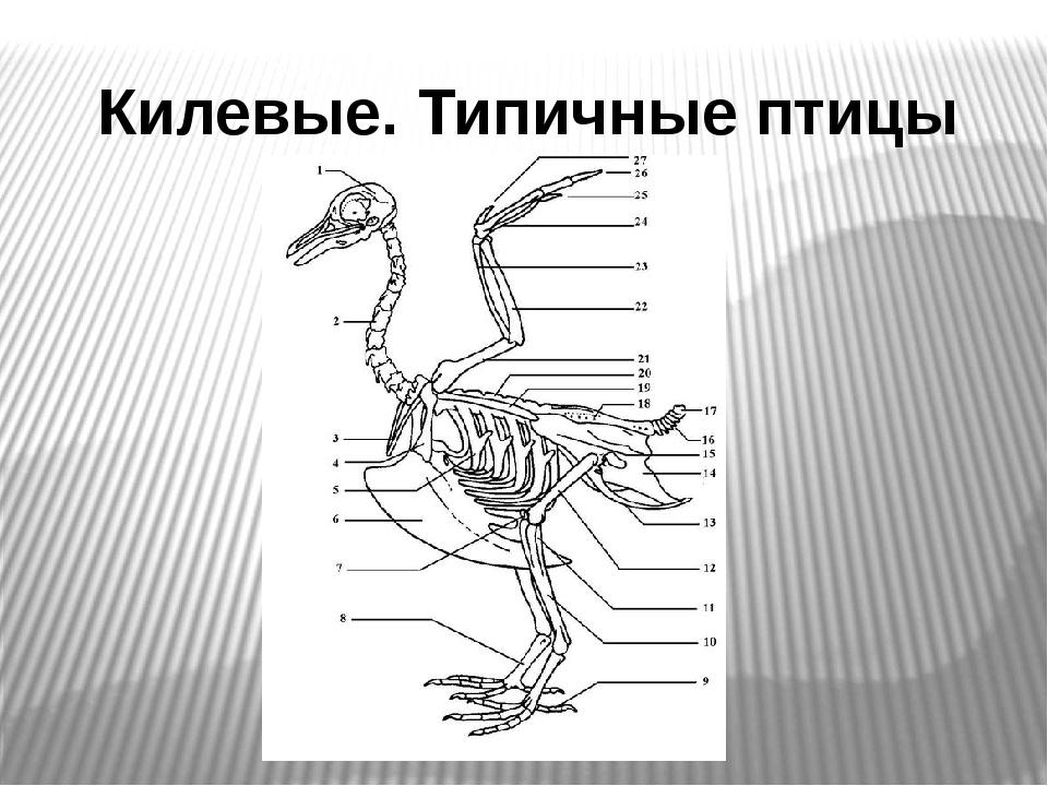 Килевые. Типичные птицы