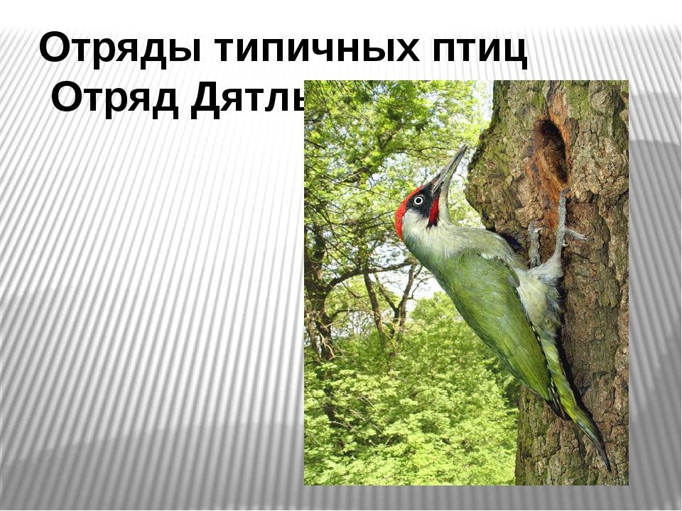 Отряды типичных птиц Отряд Дятлы