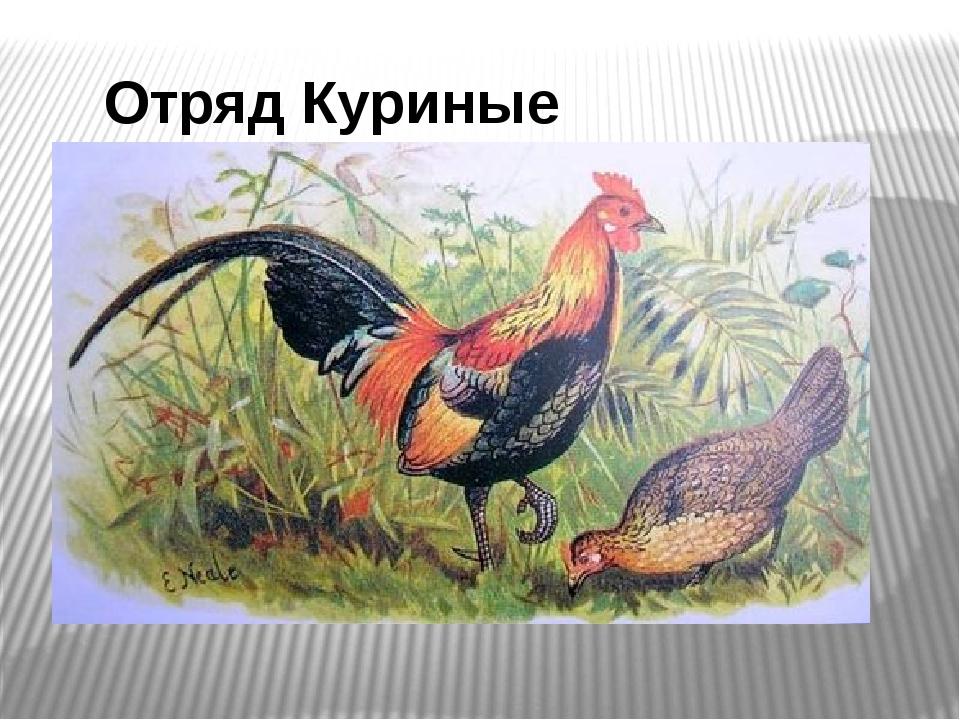 Отряд Куриные