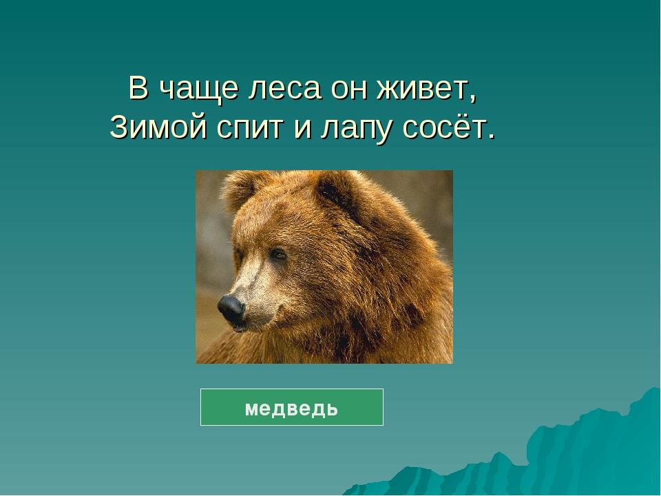 В чаще леса он живет, Зимой спит и лапу сосёт. медведь