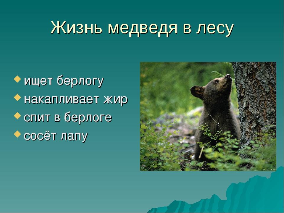 Жизнь медведя в лесу ищет берлогу накапливает жир спит в берлоге сосёт лапу