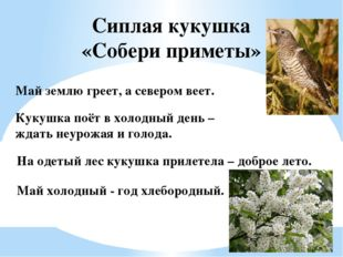 Сиплая кукушка «Собери приметы» На одетый лес кукушка прилетела – доброе лето