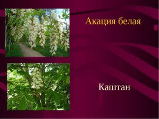 Акация белая Каштан