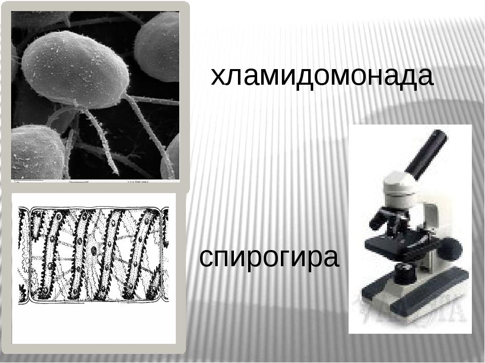 8 1 2 3 4 5 6 7 Строение хламидомонады