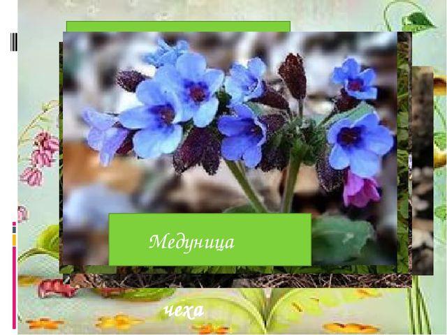 Чистяк весенний Мать- и-ма чеха Печеночница благородная Ветреница лютичная Х...